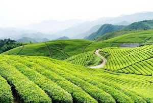 FUJIAN TEA FIELDS